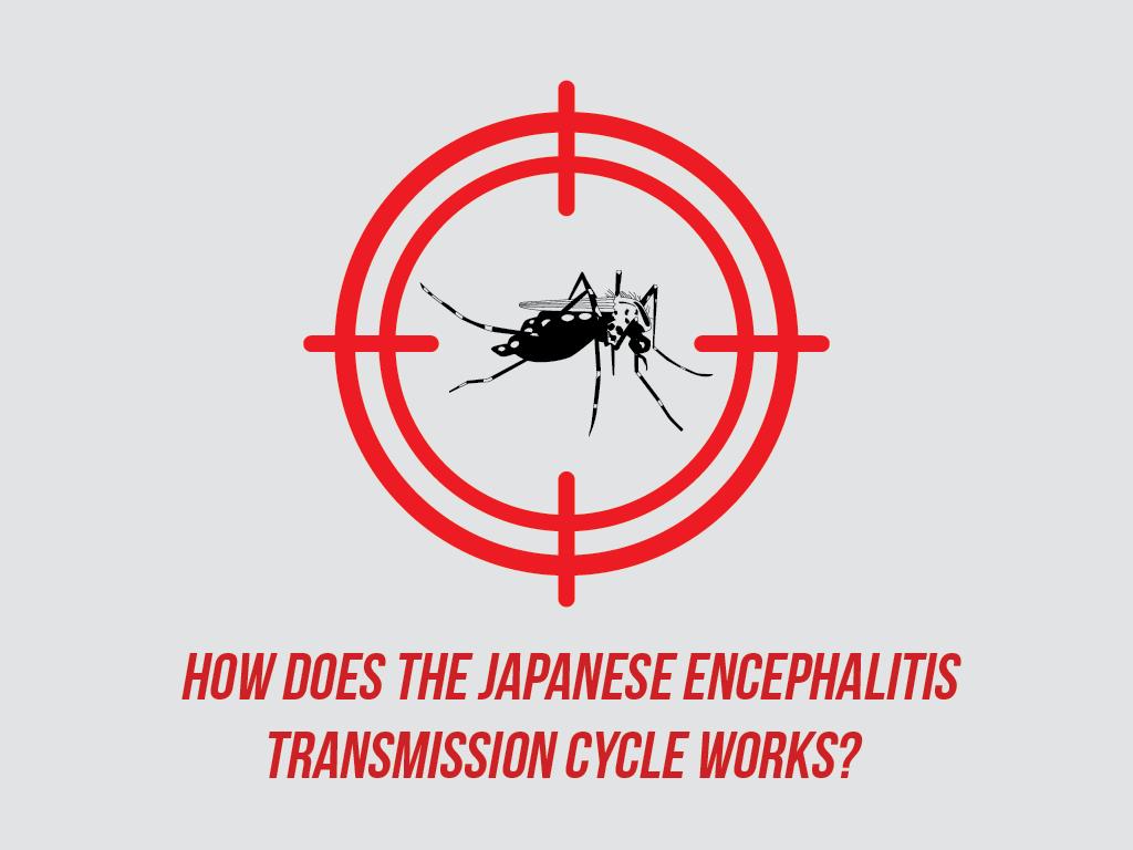 How does the Japanese Encephalitis Transmission Cycle Works